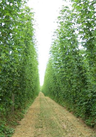 hop-yard-know-the-grower